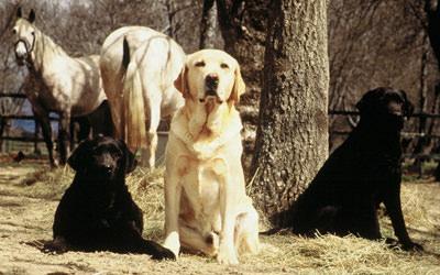 criadores de labrador
