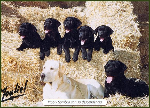 Cachorros-de-labrador