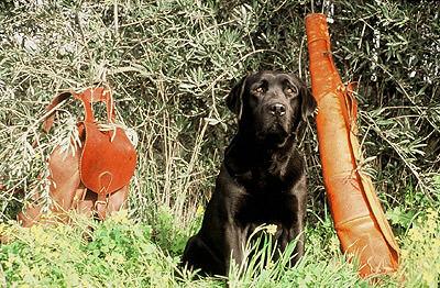 labrador retriever para caza