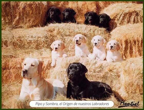 Labrador Retriever de Abantueso