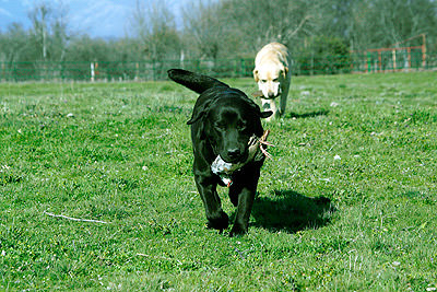Labrador-retriever-cobrando