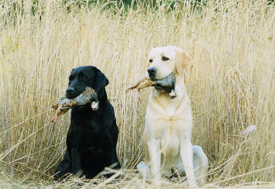 Labradores-retriever-caza