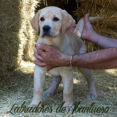 cachorro-labrador-retriever