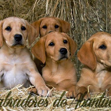 cachorros-amarillos-red-fox