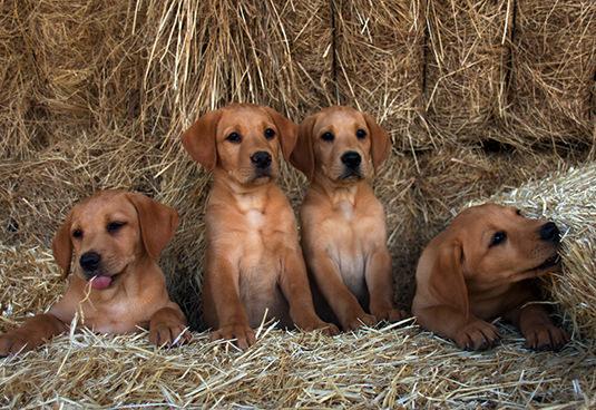 cachorros-de-red-fox