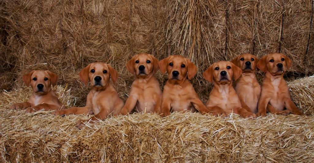 cachorros-red-fox