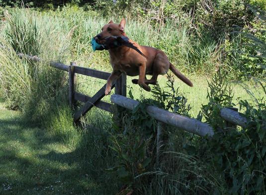 caza-red-fox