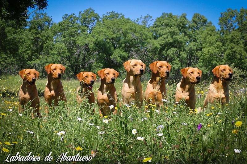 flores-labrador