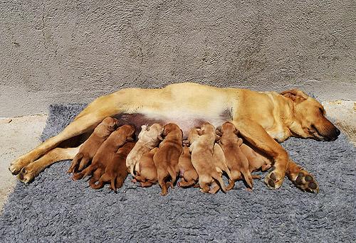 kimba-cachorros-red-fox