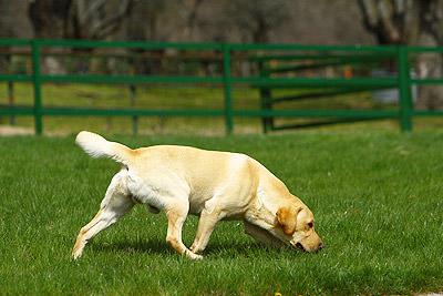 criadero labrador retriever