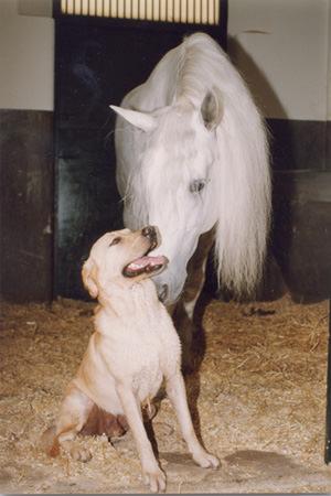Cómo es un Labrador Retriever de Abantueso