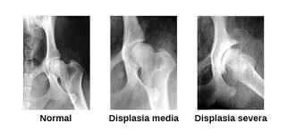 displasia de cadera canina