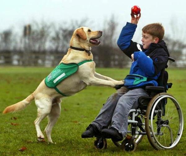 Labrador Retriever como perro de asistencia